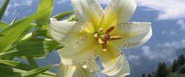 """""""Perhatikanlah Bunga Bakung Di Ladang!"""" Matius 6:28-29"""